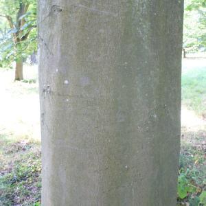 Photographie n°89046 du taxon Fagus sylvatica L.
