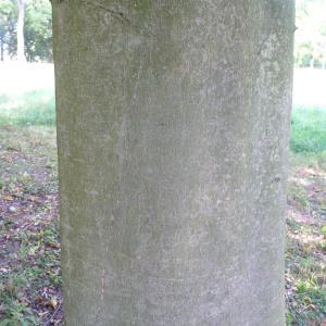 Photographie n°89048 du taxon Fagus sylvatica L.
