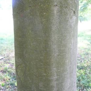 Photographie n°89049 du taxon Fagus sylvatica L.