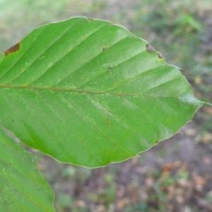 Photographie n°89050 du taxon Fagus sylvatica L.