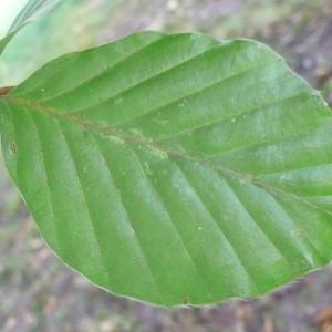 Photographie n°89051 du taxon Fagus sylvatica L.