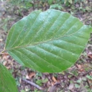 Photographie n°89052 du taxon Fagus sylvatica L.