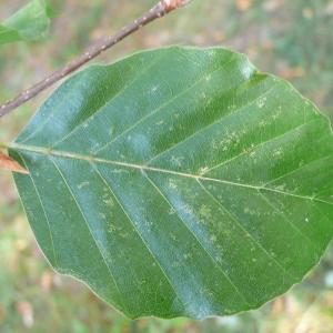 Photographie n°89053 du taxon Fagus sylvatica L.