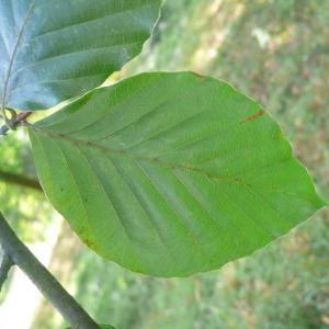Photographie n°89054 du taxon Fagus sylvatica L.