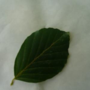 Photographie n°89056 du taxon Fagus sylvatica L.