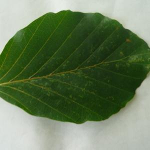 Photographie n°89057 du taxon Fagus sylvatica L.