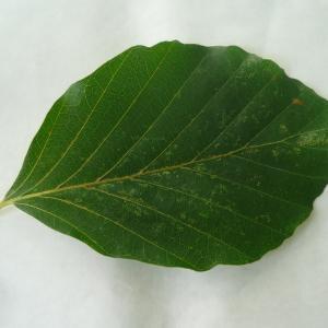 Photographie n°89058 du taxon Fagus sylvatica L.