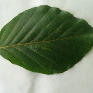 Photographie n°89059 du taxon Fagus sylvatica L.