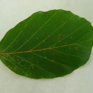 Photographie n°89060 du taxon Fagus sylvatica L.