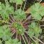 Claire SUTTER - Geranium molle L.