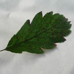- Sorbus intermedia (Ehrh.) Pers. [1806]