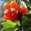 liliane Pessotto - Daphne gnidium L.