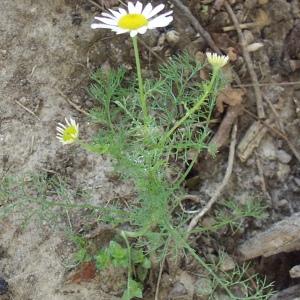 Photographie n°89289 du taxon Matricaria perforata Mérat [1812]