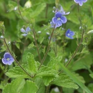 Photographie n°89305 du taxon Veronica chamaedrys L. [1753]