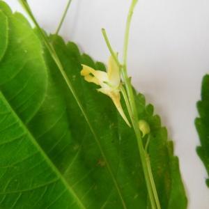 Photographie n°89309 du taxon Impatiens parviflora DC.