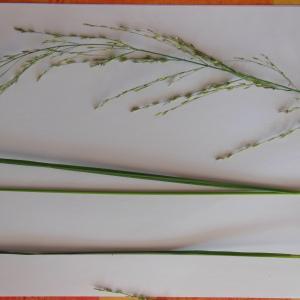 Photographie n°89312 du taxon Molinia caerulea (L.) Moench