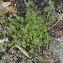 Claire Sutter - Arenaria serpyllifolia L. [1753]
