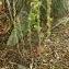 Claire Sutter - Amaranthus retroflexus L.