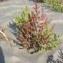 Gael LECHAPT - Salicornia europaea L.