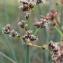 Marie  Portas - Scirpus lacustris L. [1753]