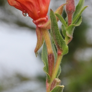 - Oenothera stricta Ledeb. ex Link [1821]