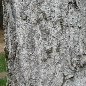 Photographie n°89555 du taxon Populus nigra L.