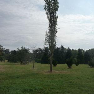 Photographie n°89558 du taxon Populus nigra L.