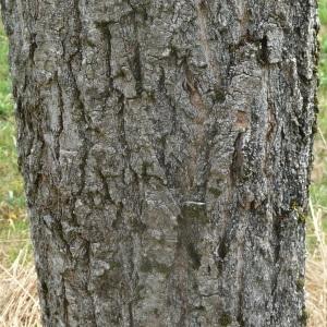 Photographie n°89559 du taxon Populus nigra L.