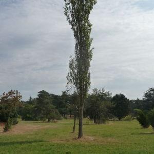 Photographie n°89561 du taxon Populus nigra L.