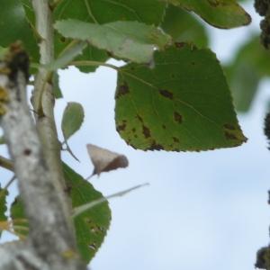 Photographie n°89563 du taxon Populus nigra L.