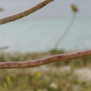 Matthiola sinuata (L.) R.Br. subsp. sinuata (Giroflée des dunes)