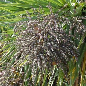 Cordyline australis (G.Forst.) Endl. (Cordyline)