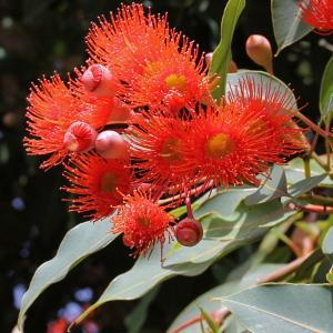 Corymbia ficifolia (F.Muell.) K.D.Hill & L.A.S.Johnson