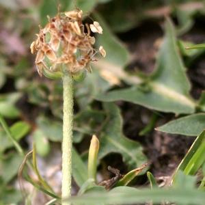 Plantago monosperma Pourr. (Plantain à une graine)