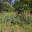 Florent Beck - Cladium mariscus (L.) Pohl