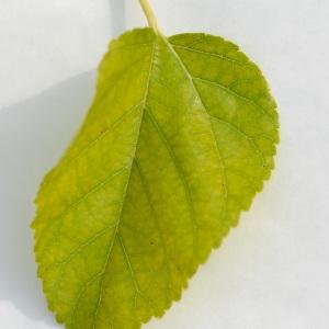 - Morus nigra L.