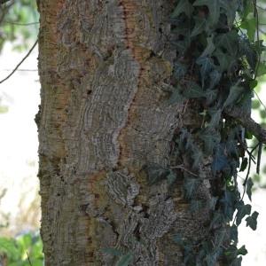 Photographie n°89864 du taxon Quercus suber L. [1753]