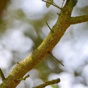 Photographie n°89866 du taxon Quercus suber L. [1753]