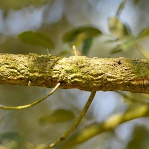 Photographie n°89867 du taxon Quercus suber L. [1753]