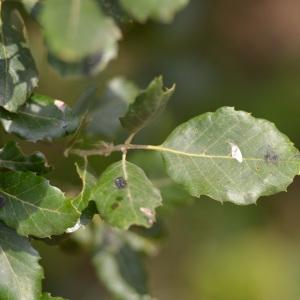Photographie n°89868 du taxon Quercus suber L. [1753]