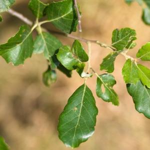 Photographie n°89869 du taxon Quercus suber L. [1753]