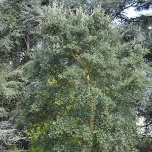 Photographie n°89871 du taxon Quercus suber L. [1753]
