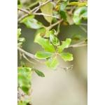 Quercus pubescens subsp. virgiliana (Ten.) Soó (Chêne des Apennins)