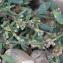 Elen LEPAGE - Polygonum oxyspermum subsp. raii (Bab.) D.A.Webb & Chater