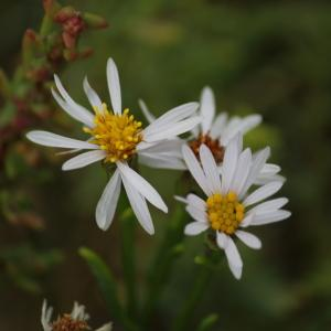 Photographie n°90087 du taxon Aster tripolium L.