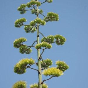 Photographie n°90094 du taxon Agave americana L. [1753]
