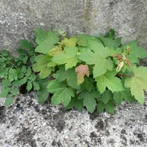 Photographie n°90096 du taxon Acer pseudoplatanus L.