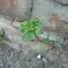 frédéric marié - Euphorbia helioscopia L. [1753]