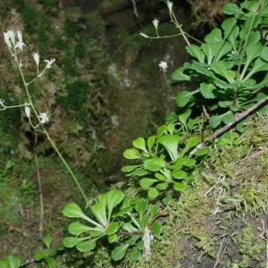 Photographie n°90113 du taxon Saxifraga cuneifolia L.