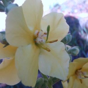 Photographie n°90358 du taxon Verbascum phlomoides L. [1753]
